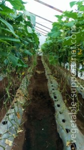 organic-cucumber-crop-in-greenhouse-with-vegetable-support-net