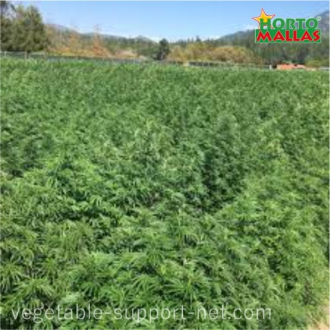 Hemp field trellised with support netting