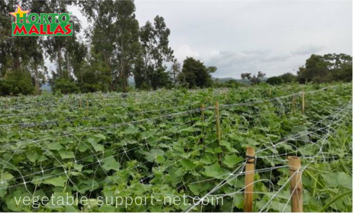 Melon field supported with melon net