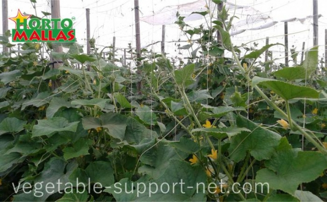 cucumber trellised with support netting