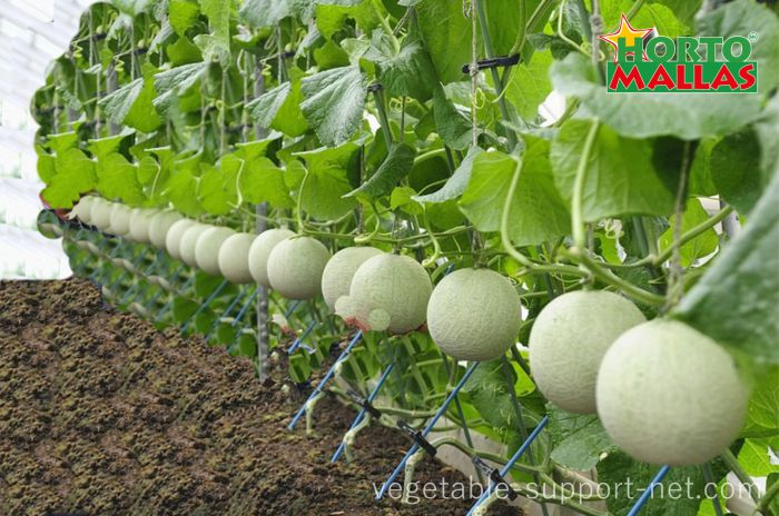 Greenhouse grown melons tutored with netting