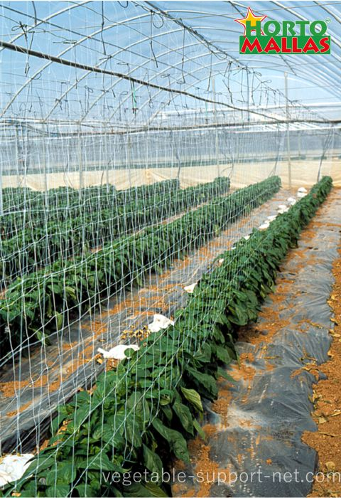 peppers support net inside greenhouse