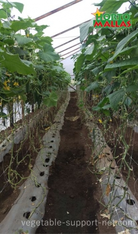 Cucumber Trellis netting inside a greenhouse