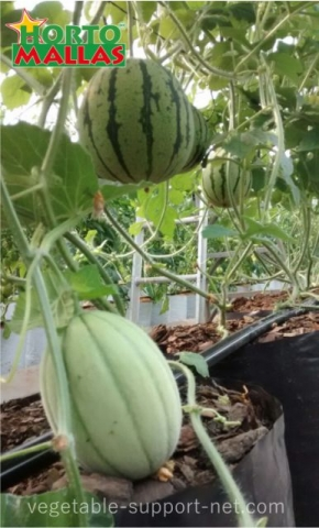 watermelon tutored vertically with  hortomallas net for plant support