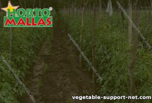 Trellis netting installed in a crop field